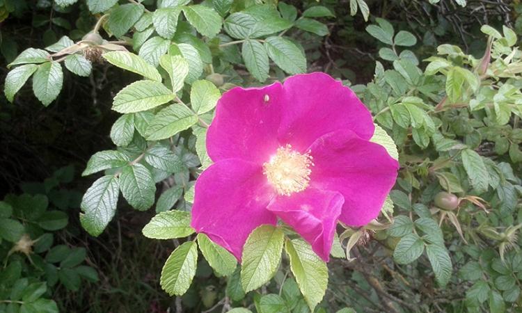 Crawford rose