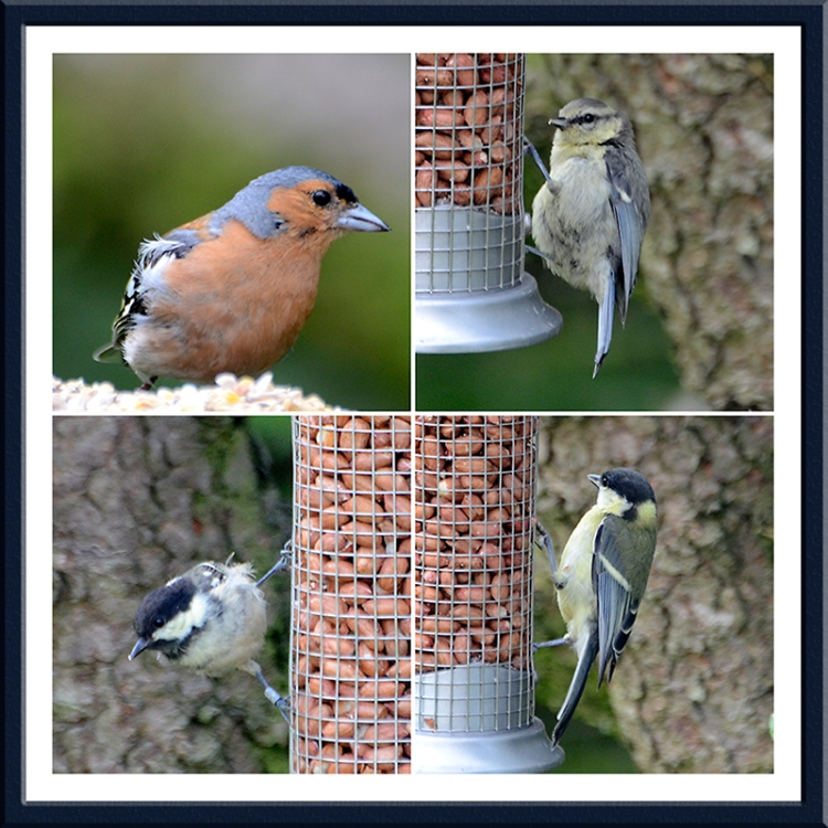 chaffinch, blue tit, great tit and coal tit