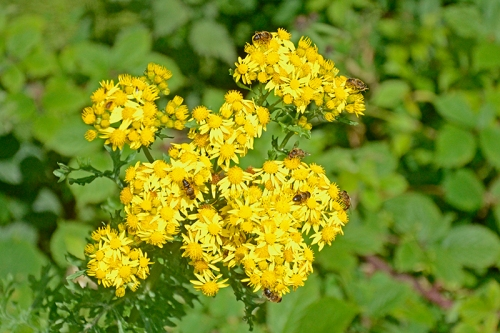 ragwort with bees
