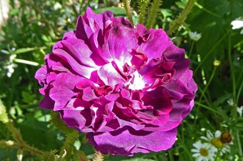 moss rose