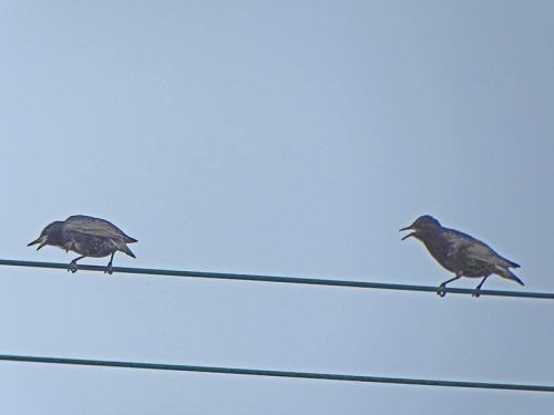 starling shouting