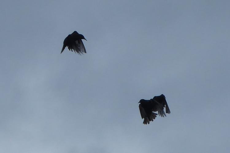 flying starlings