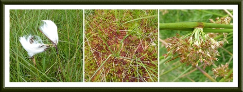 bog cotton, moss, reed