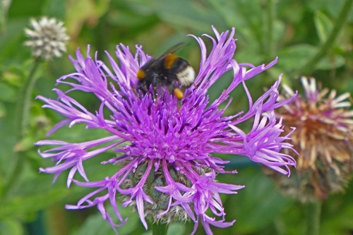 knapweed with bee