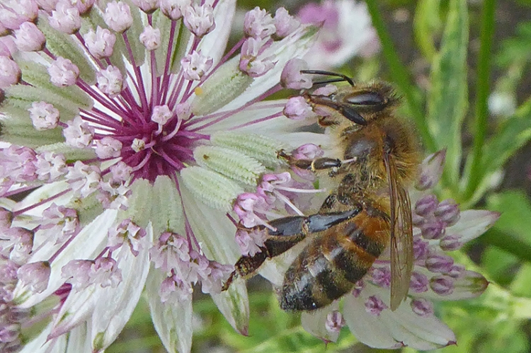 astrantia and bee
