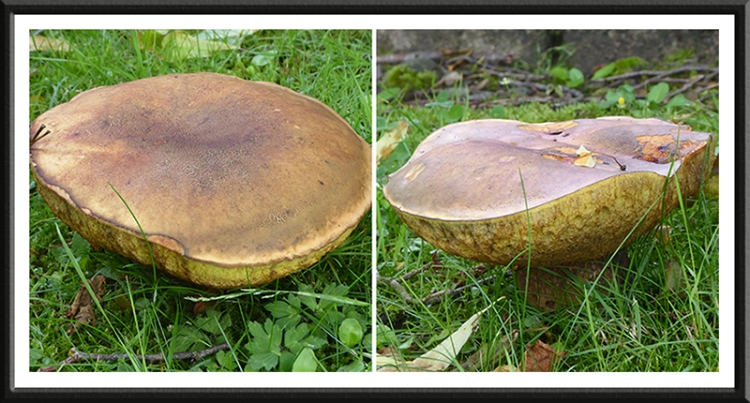 kilngreen fungi