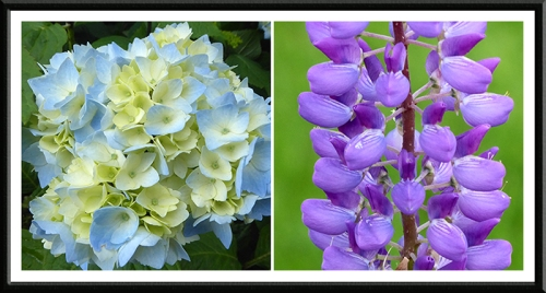 hydrangea and lupin