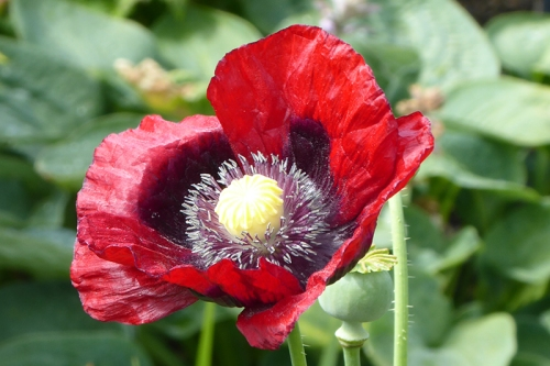 second poppy