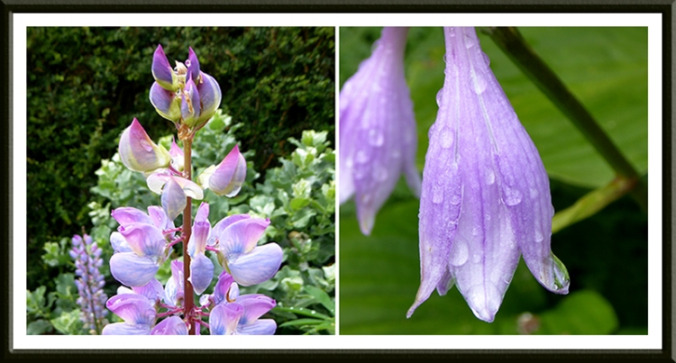 lupin and hosta