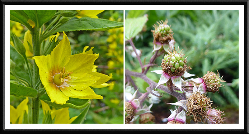 loosestrife and bramble