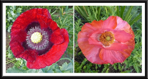 opium and shirley poppies