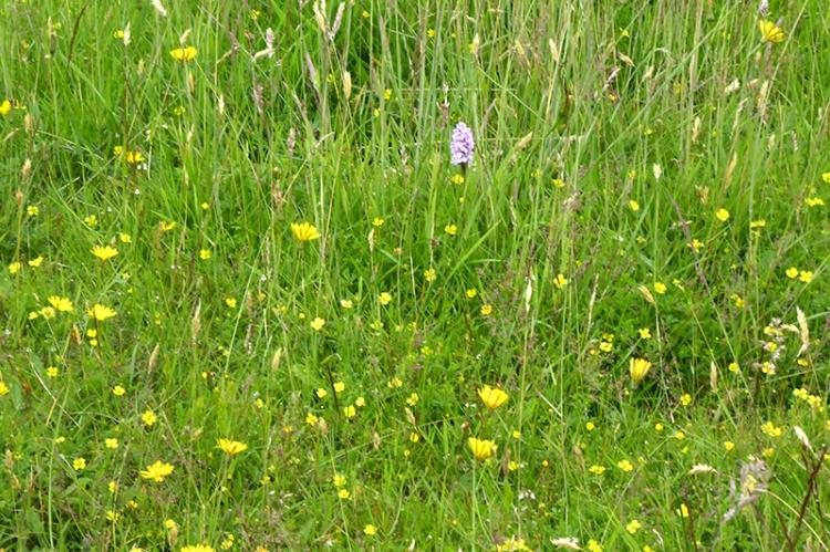 Meikleholm wild flowers