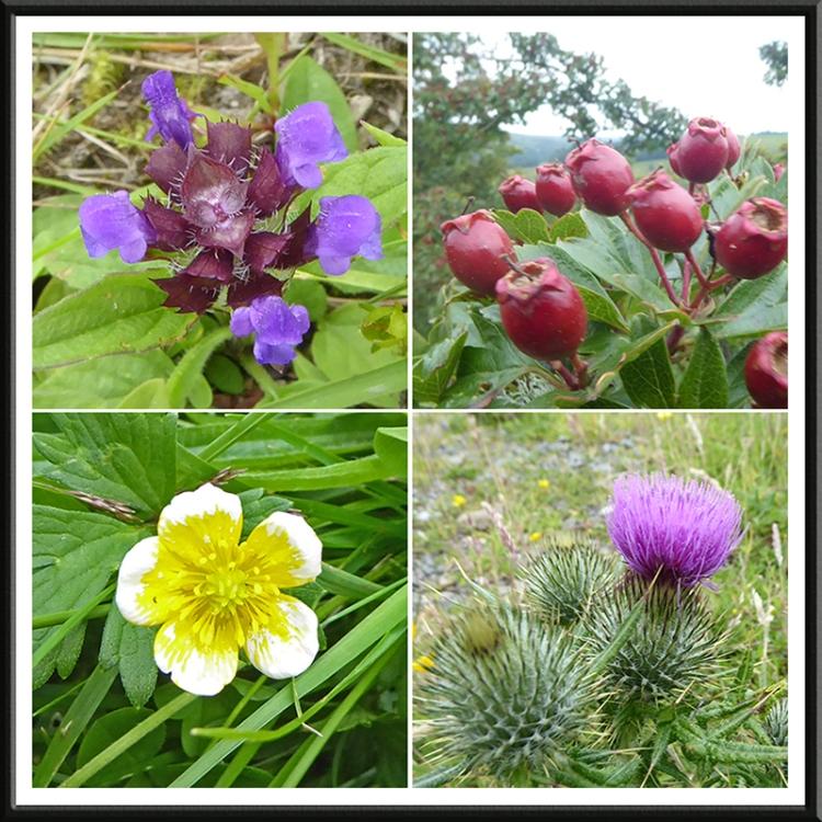 Meikleholm hill wild flowers