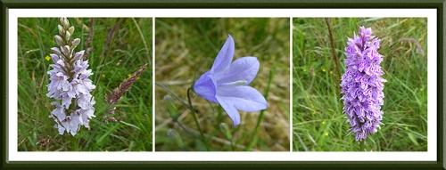 orchid and harebell
