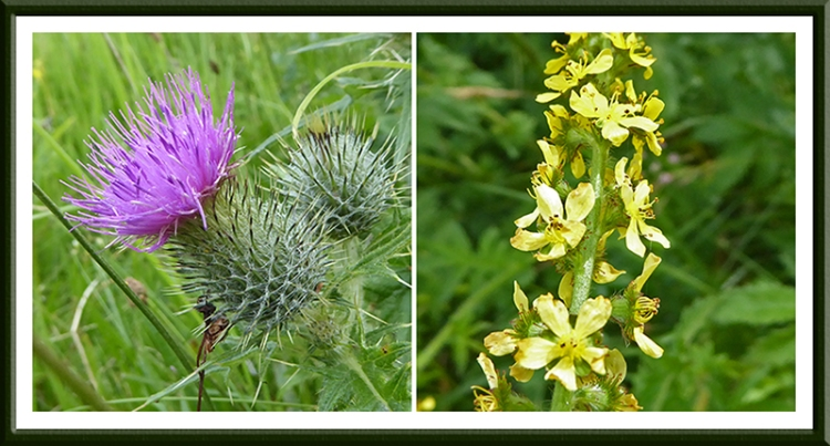Yellow agrimony and thistle
