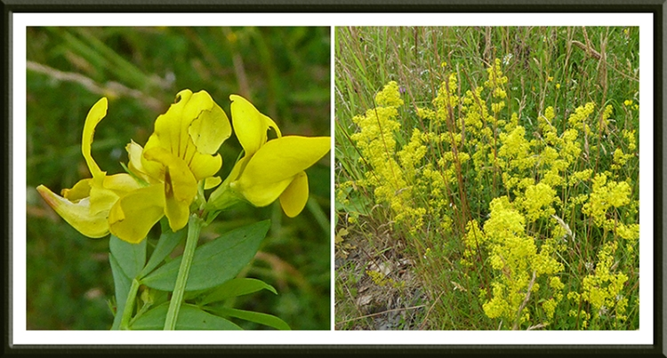 trefoil and yellow flowers