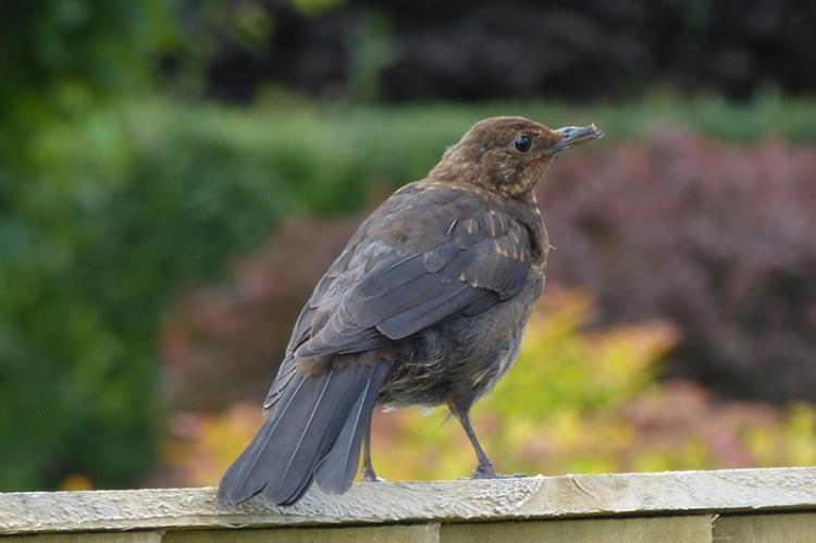 blackbird on fence