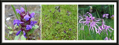self heal and ragged robin