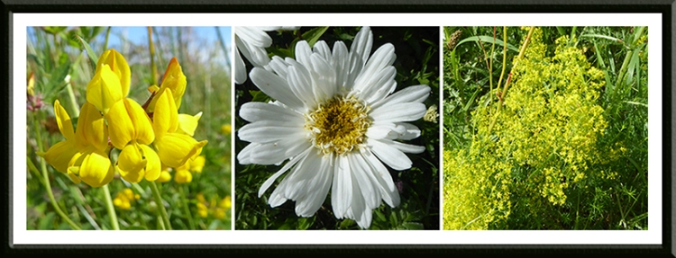 trefoil, daisy and bedstraw