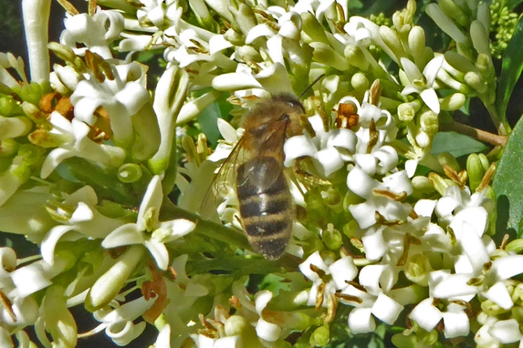 privet and bee