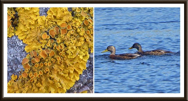 lichen and ducks Winterhope reservoir