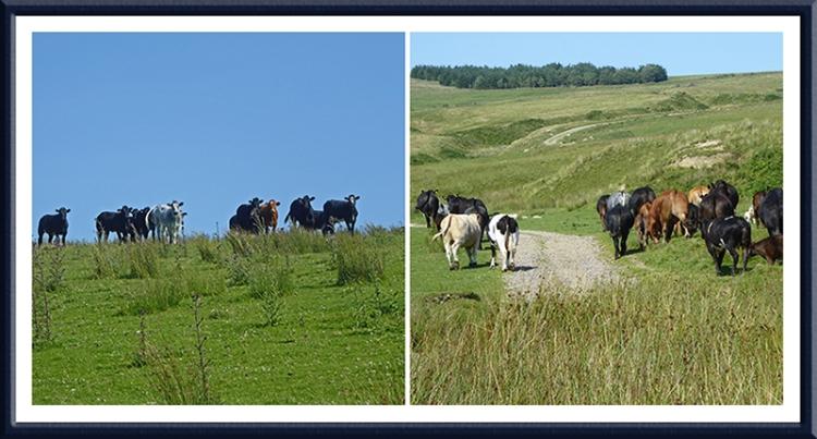 Winterhope reservoir cattle