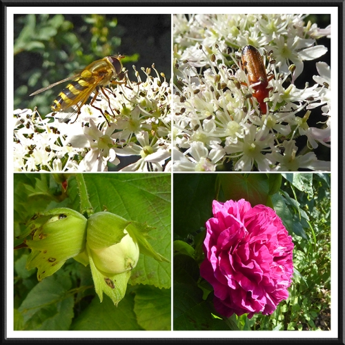 hoverfly, beetle, nuts and rose