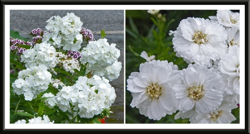phlox and white flowers