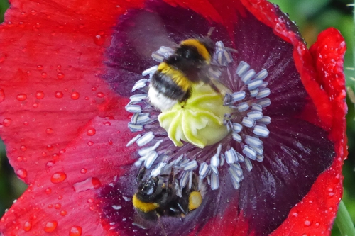 bees on poppy