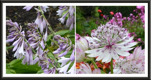 hosta and astrantia