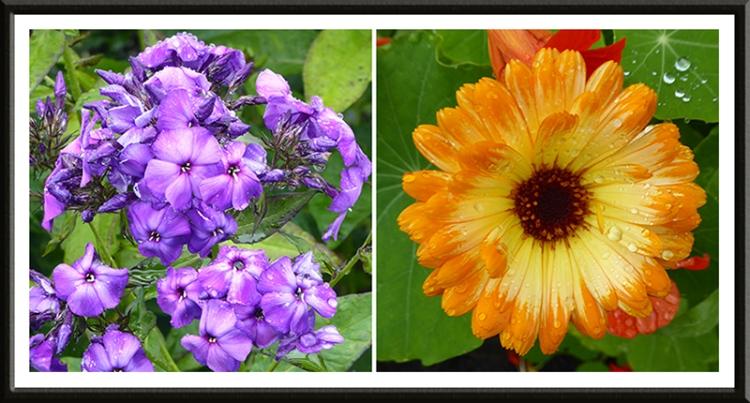 phlox and marigold