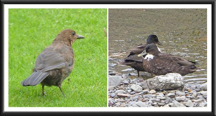 blackbird an duck