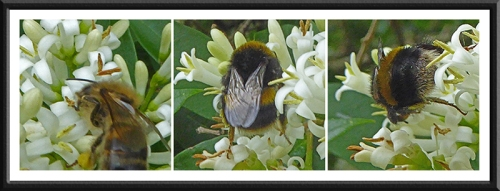 bees on privet