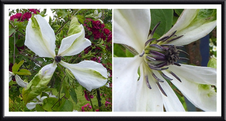 white and green clematis