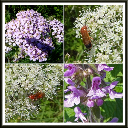umbellifer with red soldier beetles