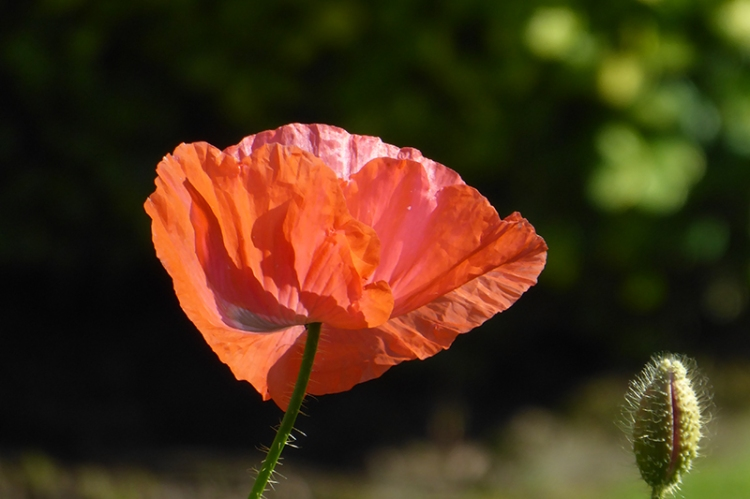 poppy in sunshine