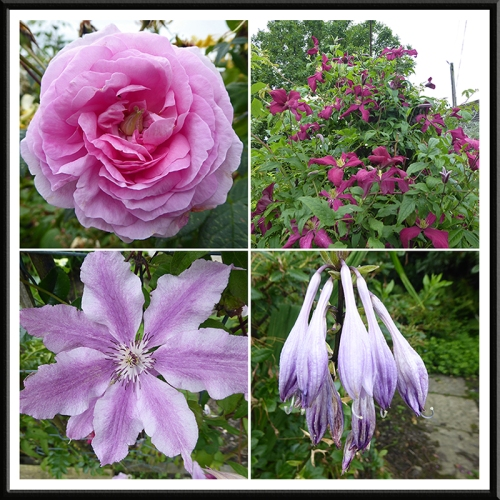 Queen of Denmark, two clematis and a hosta