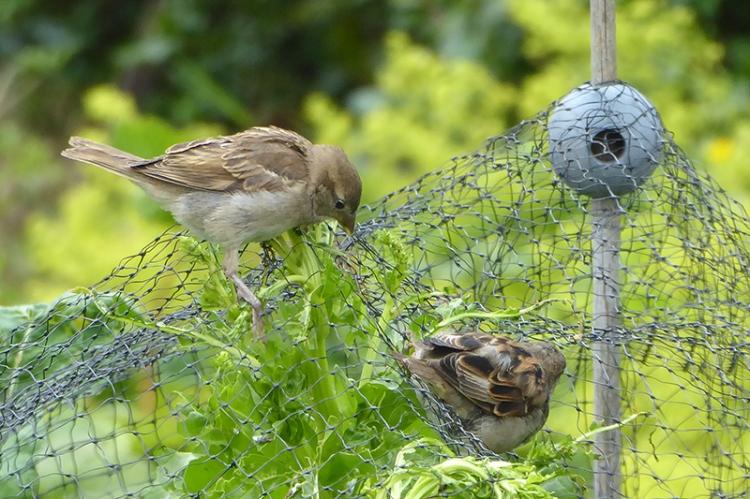 sparrows eating peas