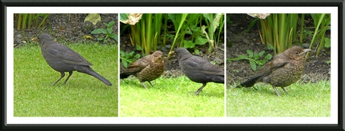 blackbird family