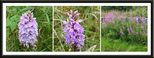 orchids and willowherb