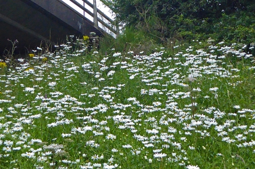 daisies on the by pass