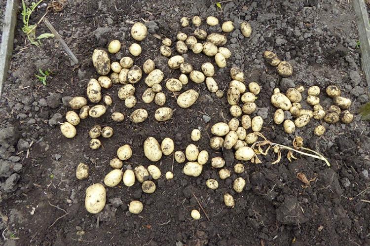 early potatoes