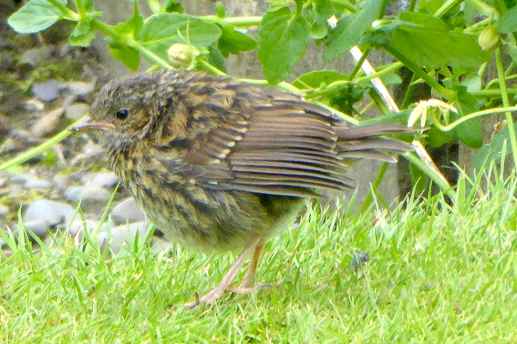 doleful sparrow