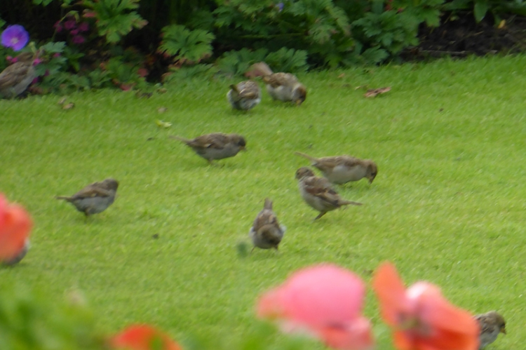 sparrows on lawn