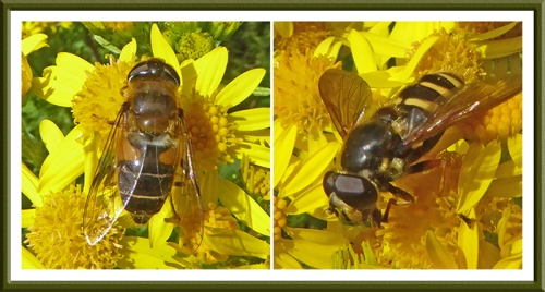 ragwort insects