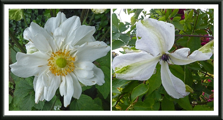 Japanese anemone and clematis