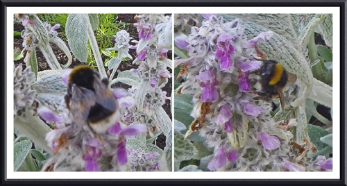 bees on lamb's ear