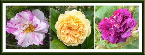 Mundi, Crown Princess Margareta and Moss roses
