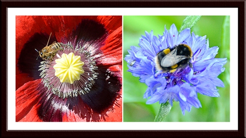bees on poppy and cornflower