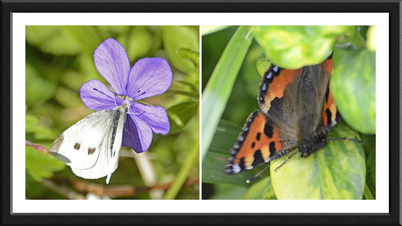 white and tortoiseshell butterflies
